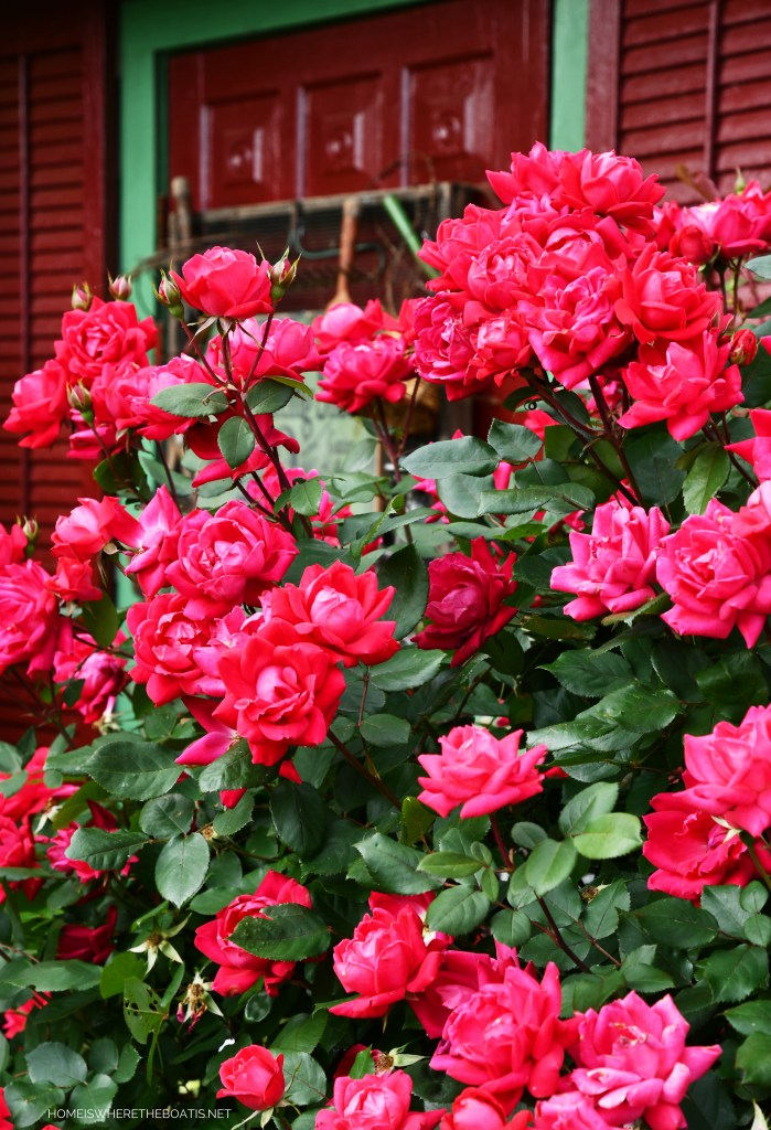 Knock Out Roses | ©homeiswheretheboatis.net #garden #flowers