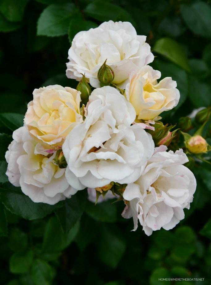 Popcorn Drift Rose | ©homeiswheretheboatis.net #roses #flowers