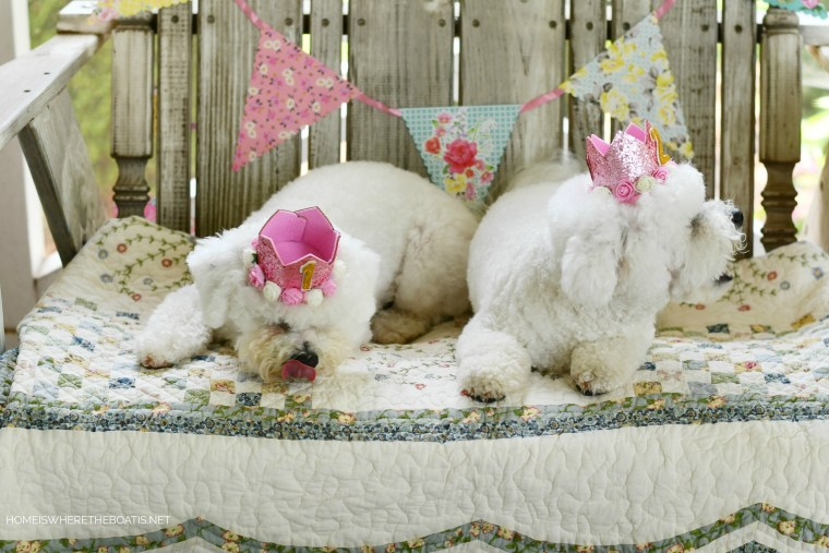 Sophie and Lola celebrate birthdays with treats and party crowns | ©homeiswheretheboatis.net #dog #bichonfrise