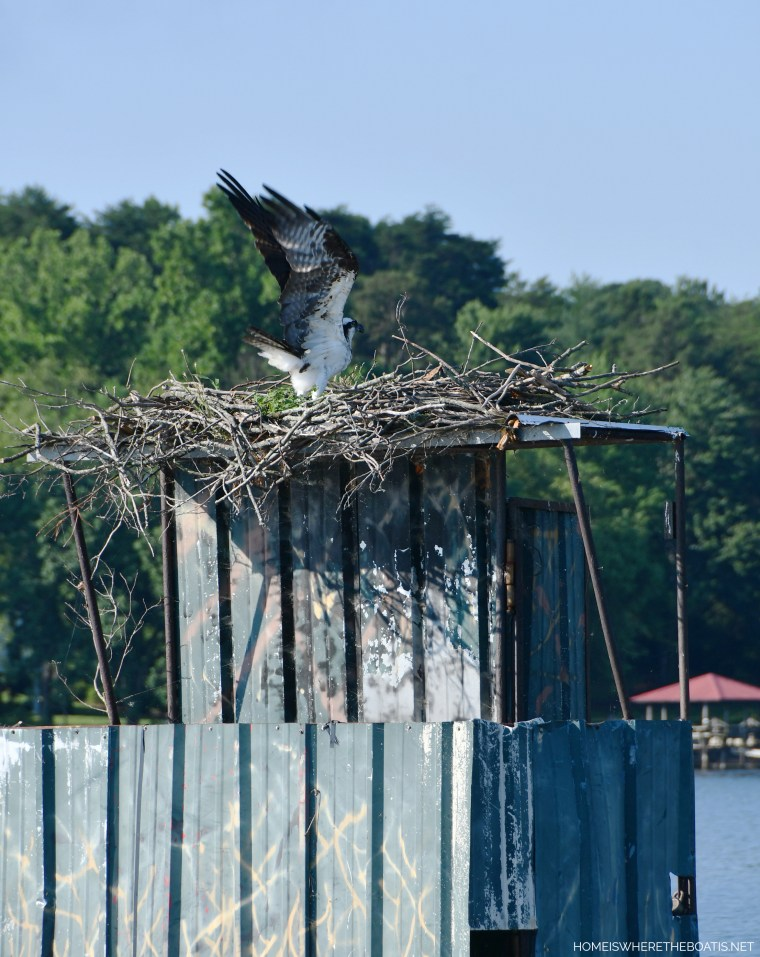 Osprey nest on duckblind | ©homeiswheretheboatis.net #lake