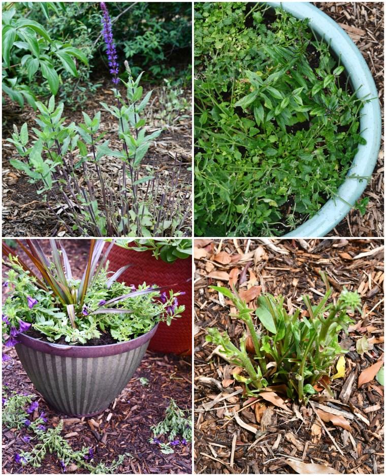 Bunny damage in garden | ©homeiswheretheboatis.net #flowers #garden