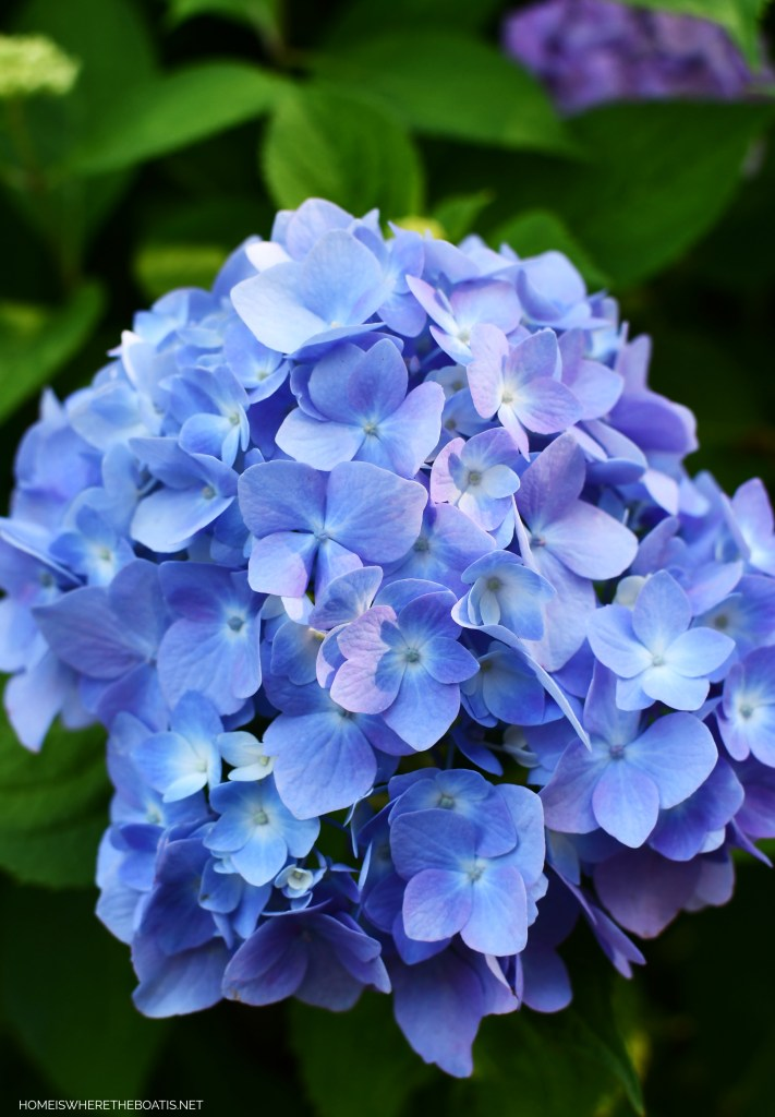 Endless Summer Hydrangeas | ©homeiswheretheboatis.net #hydrangeas #garden #flowers