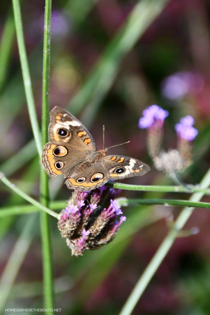 Common Buckeye Butterfly on Verbena Lollipop | ©homeiswheretheboatis.net #butterfly #garden #flowers