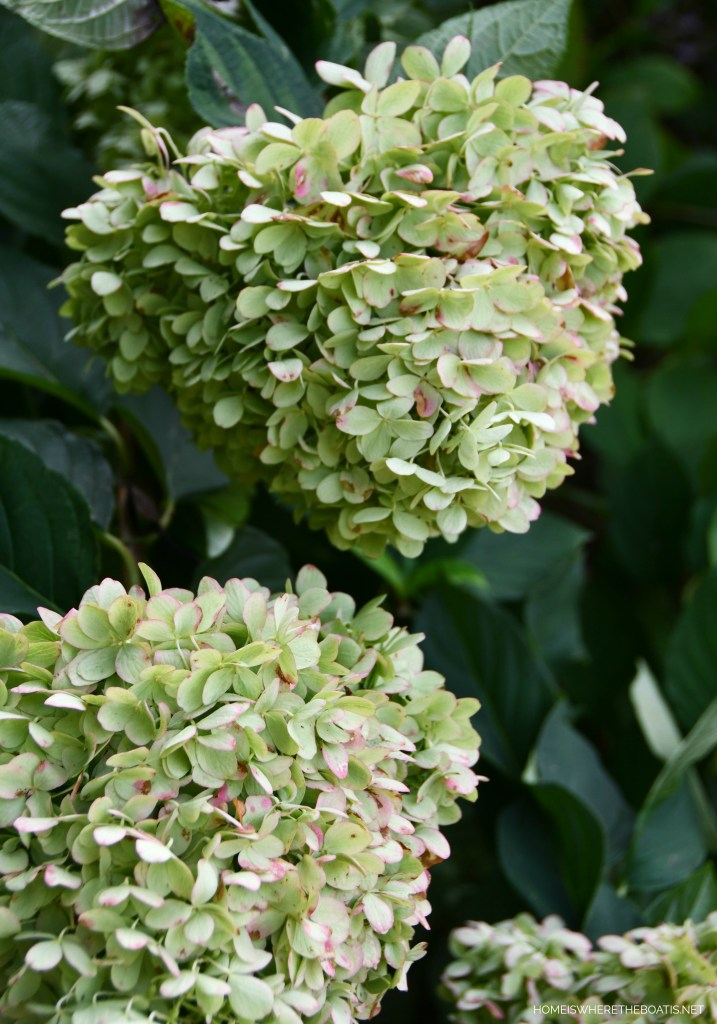 Limelight Hydrangeas fall color | ©homeiswheretheboatis.net #garden #flowers