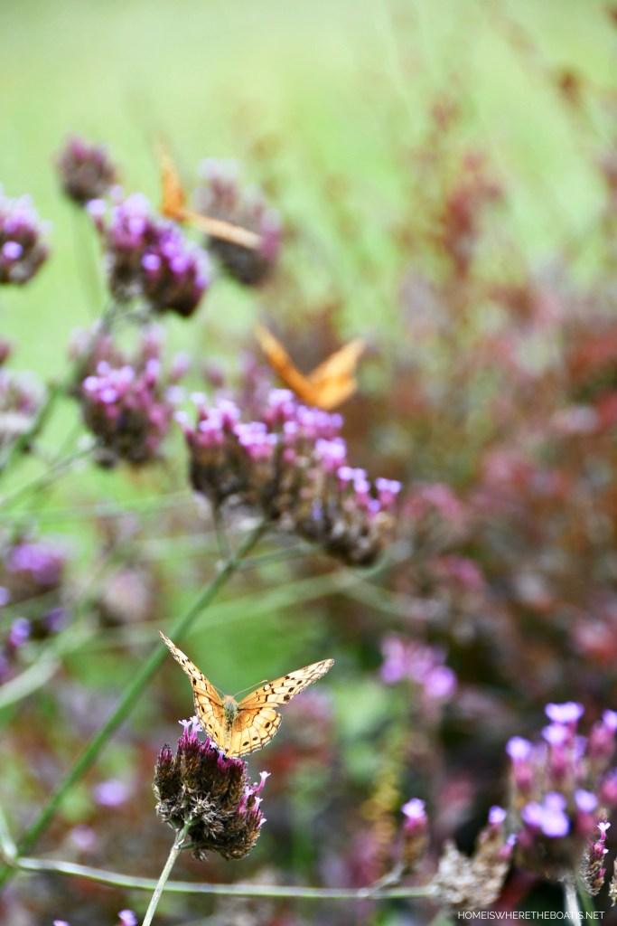 Variegated Fritillary Butterflies on Verbena Lollipop | ©homeiswheretheboatis.net #butterfly #garden #flowers