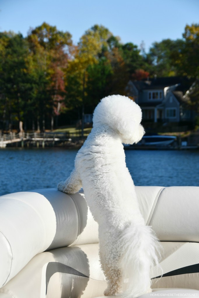 Lola on pontoon | ©homeiswheretheboatis.net #boat #dog #bichonfrise