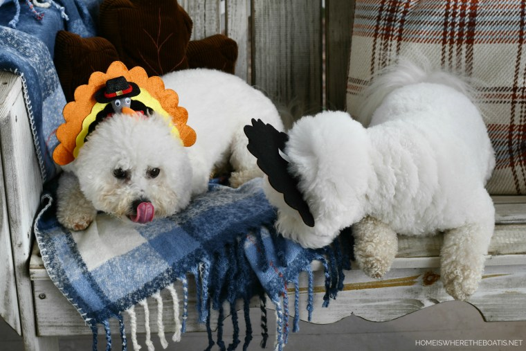 Lola and Sophie turkey headbands and sweet potato treats | ©homeiswheretheboatis.net #dogs #thanksgiving #bichonfrise