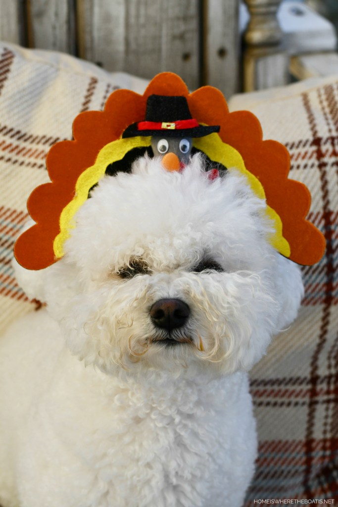 Lola turkey headbands for Thanksgiving | ©homeiswheretheboatis.net #dogs #thanksgiving #bichonfrise