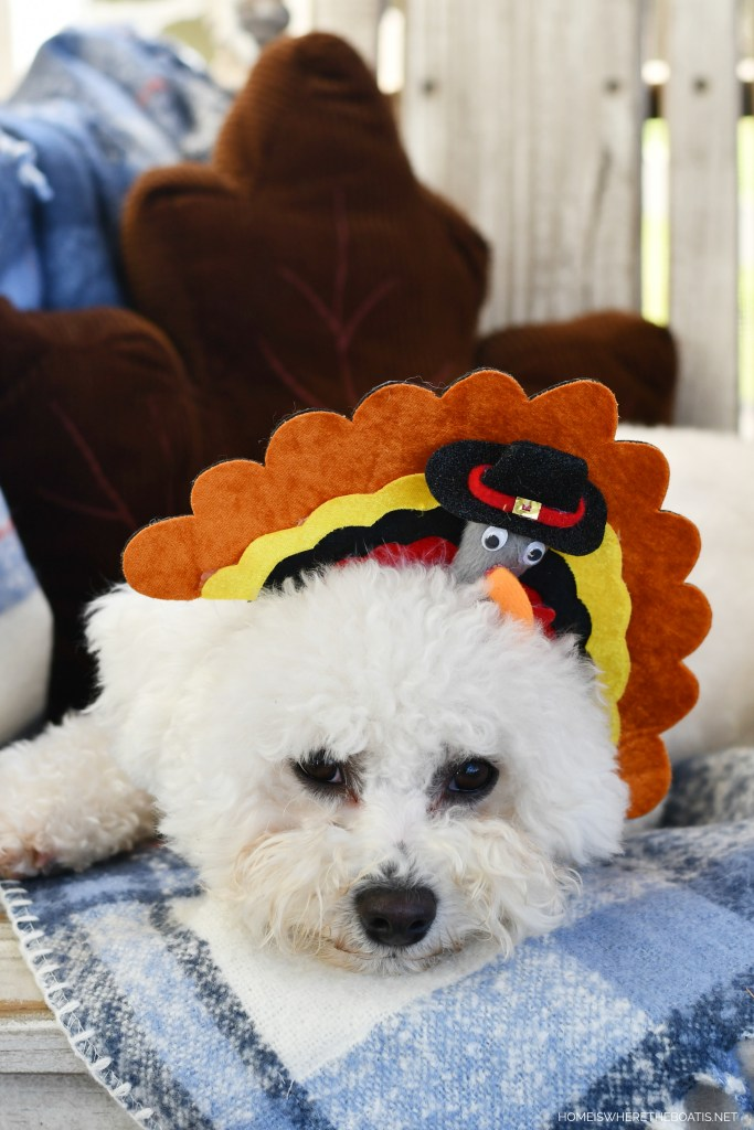 Sophie turkey headband for Thanksgiving | ©homeiswheretheboatis.net #dogs #thanksgiving #bichonfrise