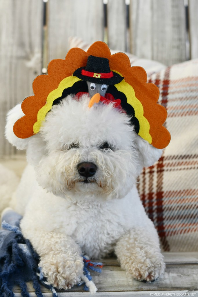 Lola turkey headband for Thanksgiving | ©homeiswheretheboatis.net #dogs #thanksgiving #bichonfrise