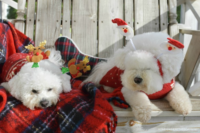 Lola and Sophie Santa and Reindeer headbands | ©homeiswheretheboatis.net #dogs #bichonfrise