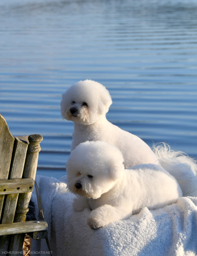 Lola and Sophie Weekend Waterview | ©homeiswheretheboatis.net #lakenorman #dogs #bichonfrise