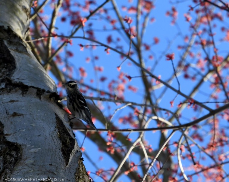 Female Downy Woodpecker silver maple tree | ©homeiswheretheboatis.net