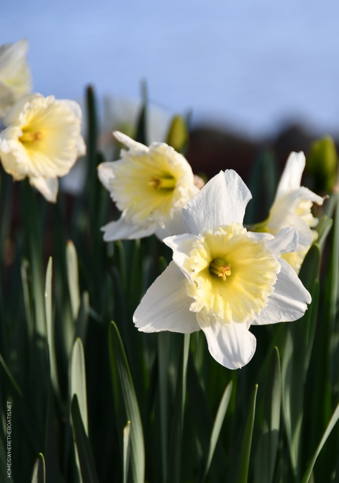 Weekend Waterview daffodils spring | ©homeiswheretheboatis.net