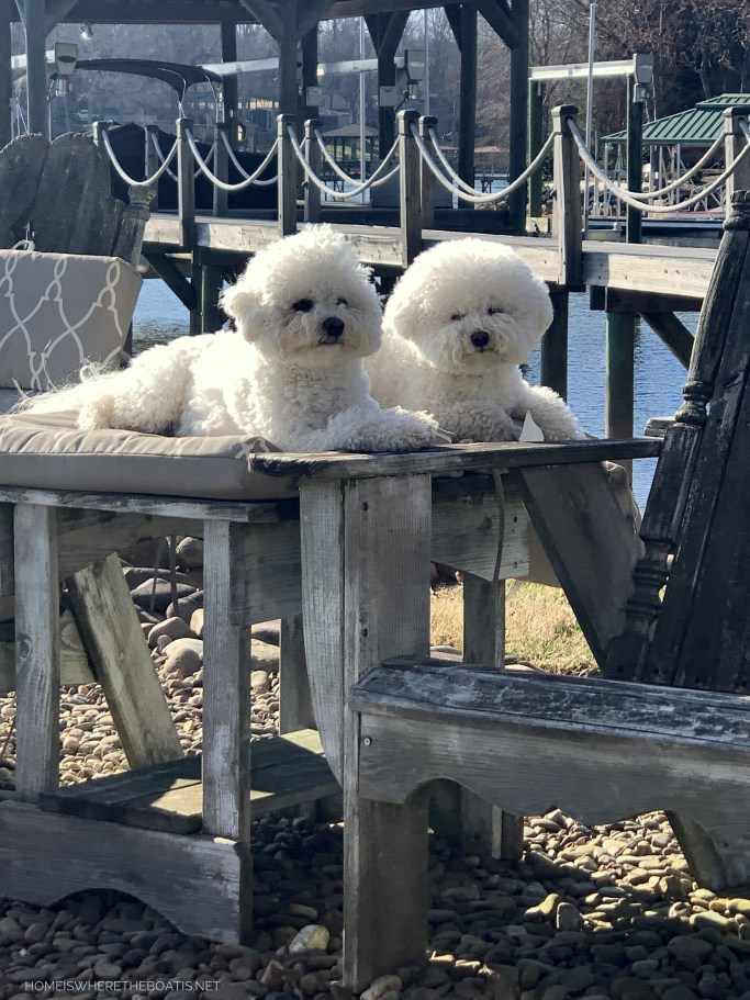 Lola and Sophie | ©homeiswheretheboatis.net #dogs #bichonfrise