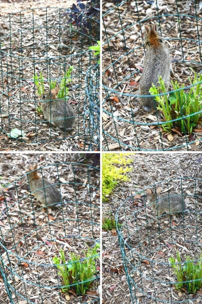 Wire garden fence to keep bunny from eating garden flowers NOT working! | ©homeiswheretheboatis.net #spring #rabbit
