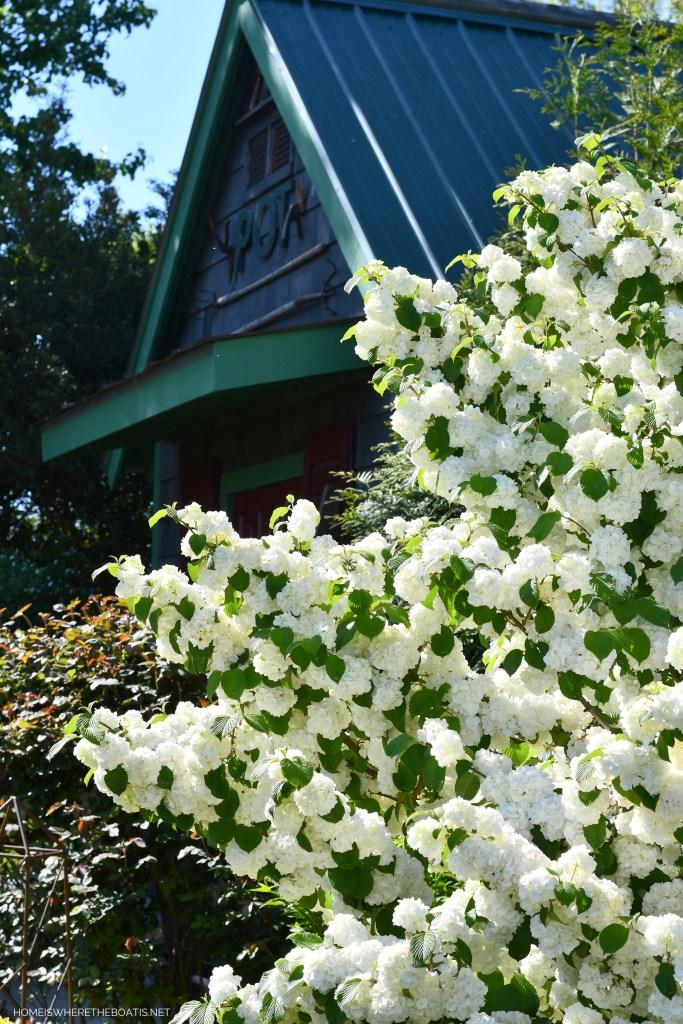 Snowball Viburnum | ©homeiswheretheboatis.net #spring #flowers #garden