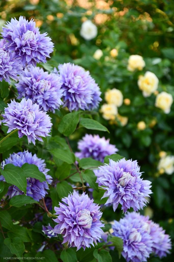 Clematis 'Diamantina' | ©homeiswheretheboatis.net #pottingshed #garden #flowers