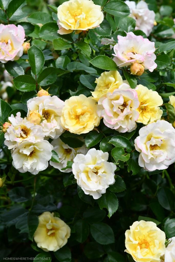 Popcorn Drift Rose | ©homeiswheretheboatis.net #pottingshed #garden #flowers