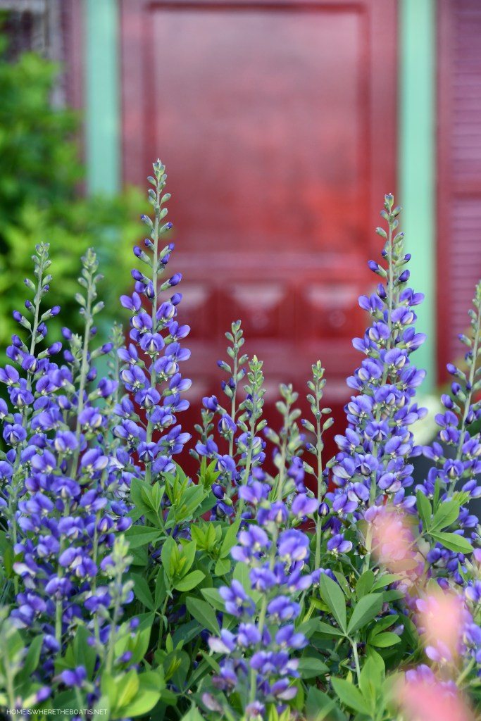 'Blueberry Sundae'Baptisia and May Garden Blooms Around the Potting Shed | ©homeiswheretheboatis.net #pottingshed #garden #flowers