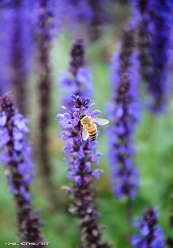 Salvia 'May Night' with bee | ©homeiswheretheboatis.net #pottingshed #garden #flowers