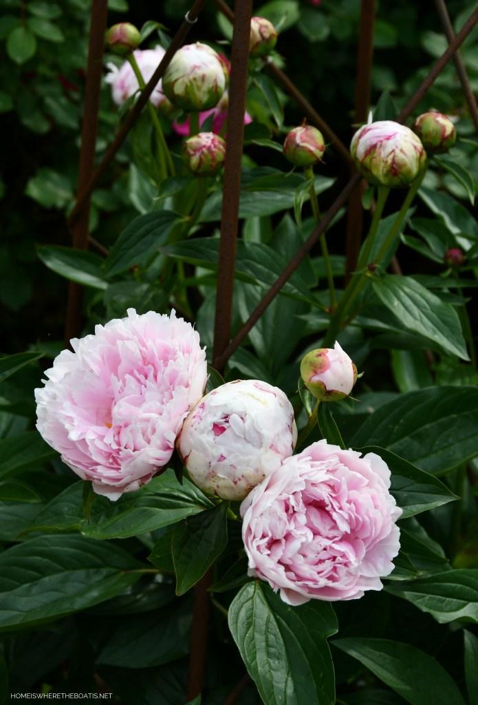Sarah Bernhardt Peony | ©homeiswheretheboatis.net #peonies #flowers #garden