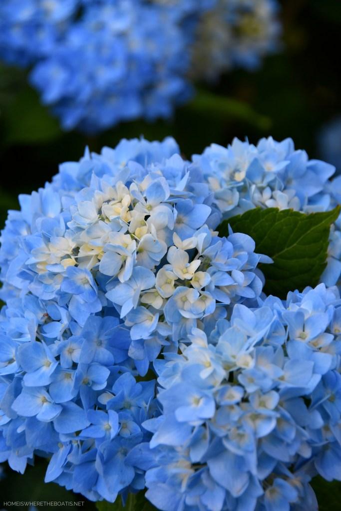 Endless Summer Hydrangeas | ©homeiswheretheboatis.net #hydrangeas #garden #flowers