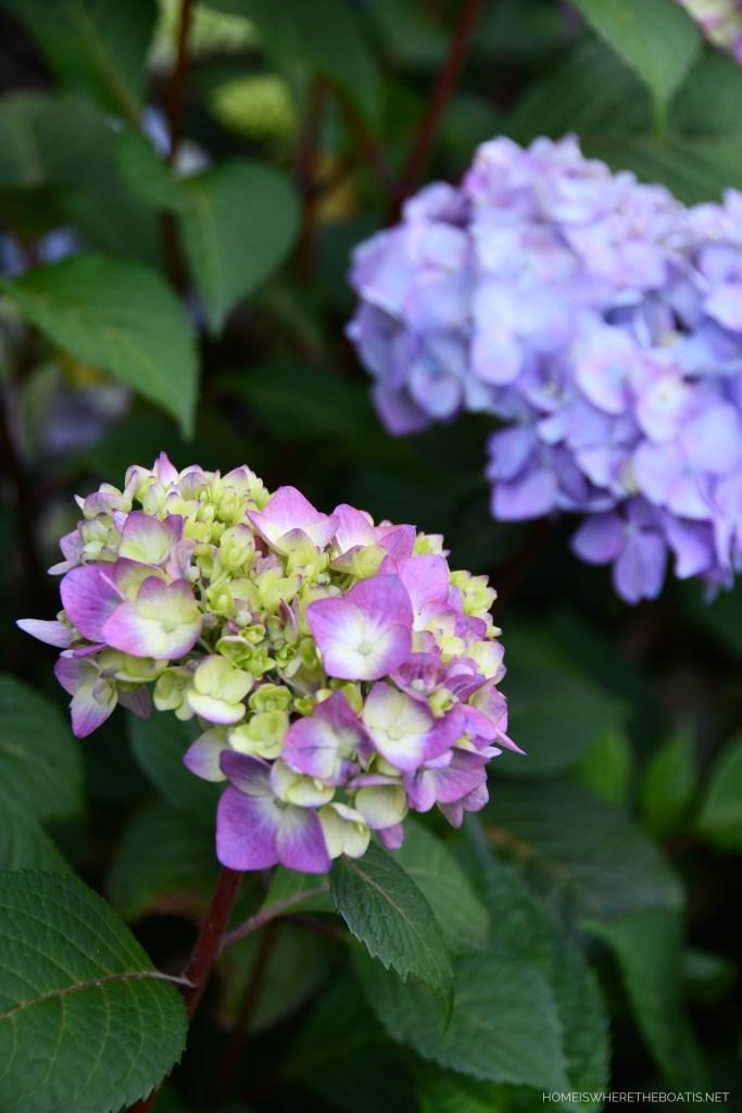 BloomStruck Endless Summer Hydrangeas | ©homeiswheretheboatis.net #hydrangeas #garden #flowers