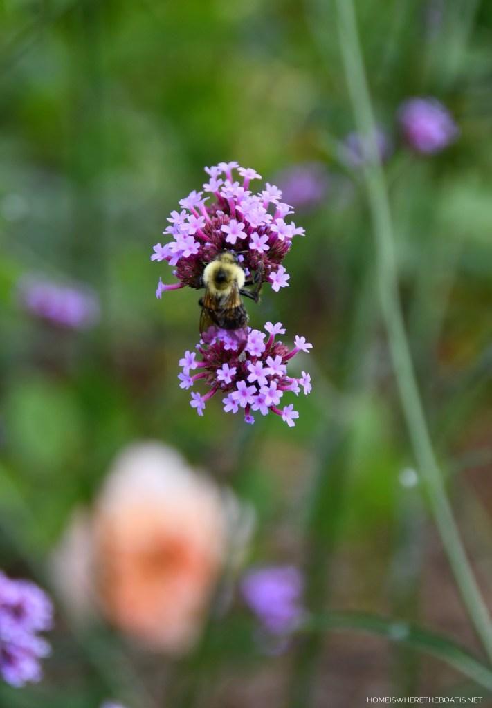 Verbena Lollipop and bee | ©homeiswheretheboatis.net #garden #flowers
