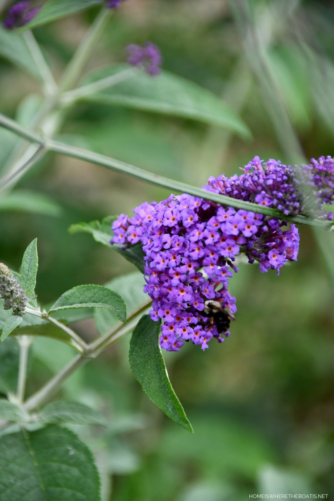 Butterfly bush and bee | ©homeiswheretheboatis.net #garden #flowers