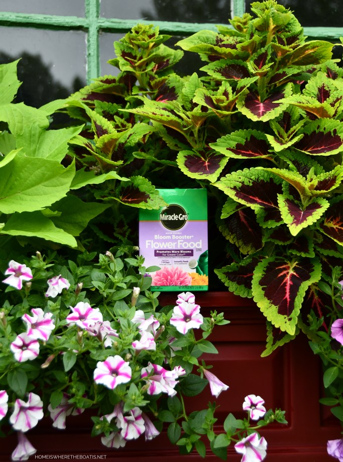 Miracle-Gro Bloom Booster is my 'go-to' fertilizer for summer annuals and containers | ©homeiswheretheboatis.net #summer #garden #flowers