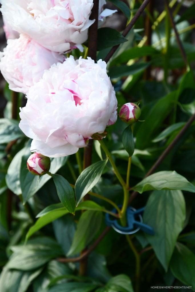Peony and garden plant clips | ©homeiswheretheboatis.net #peonies #flowers #garden