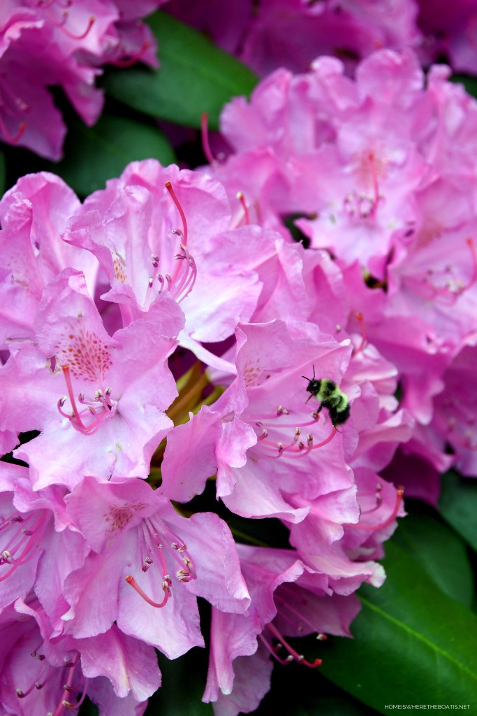Bee on Rhododendron | ©homeiswheretheboatis.net #mountains
