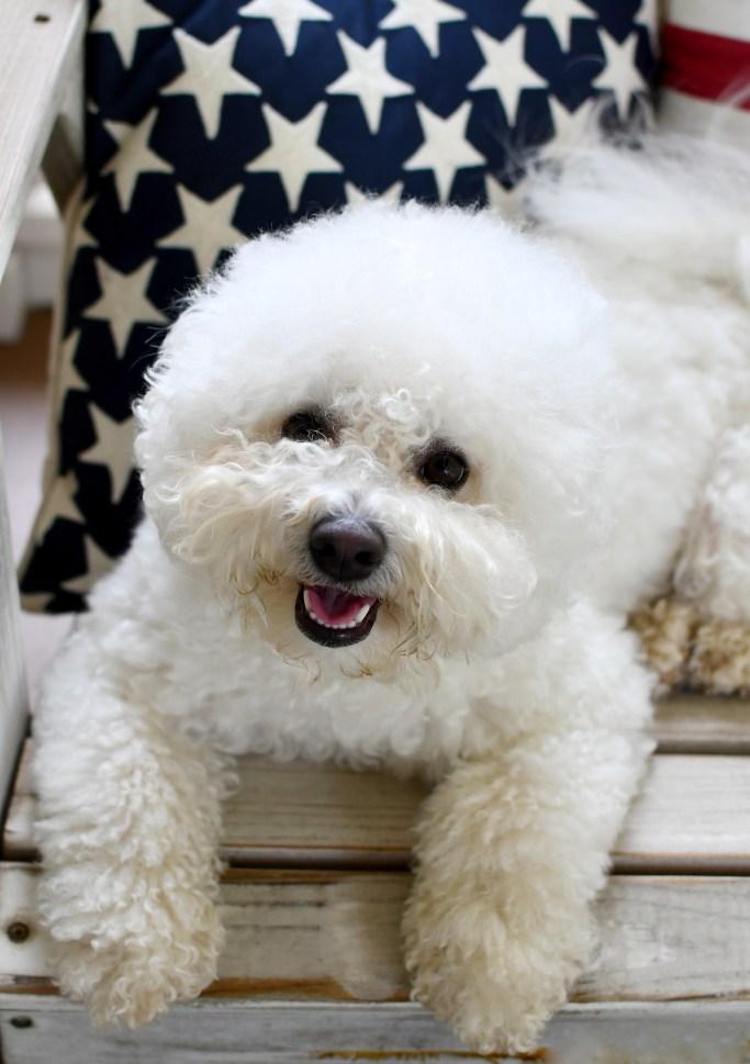 Sophie | ©homeiswheretheboatis.net #dogs #bichonfrise #4thofjuly