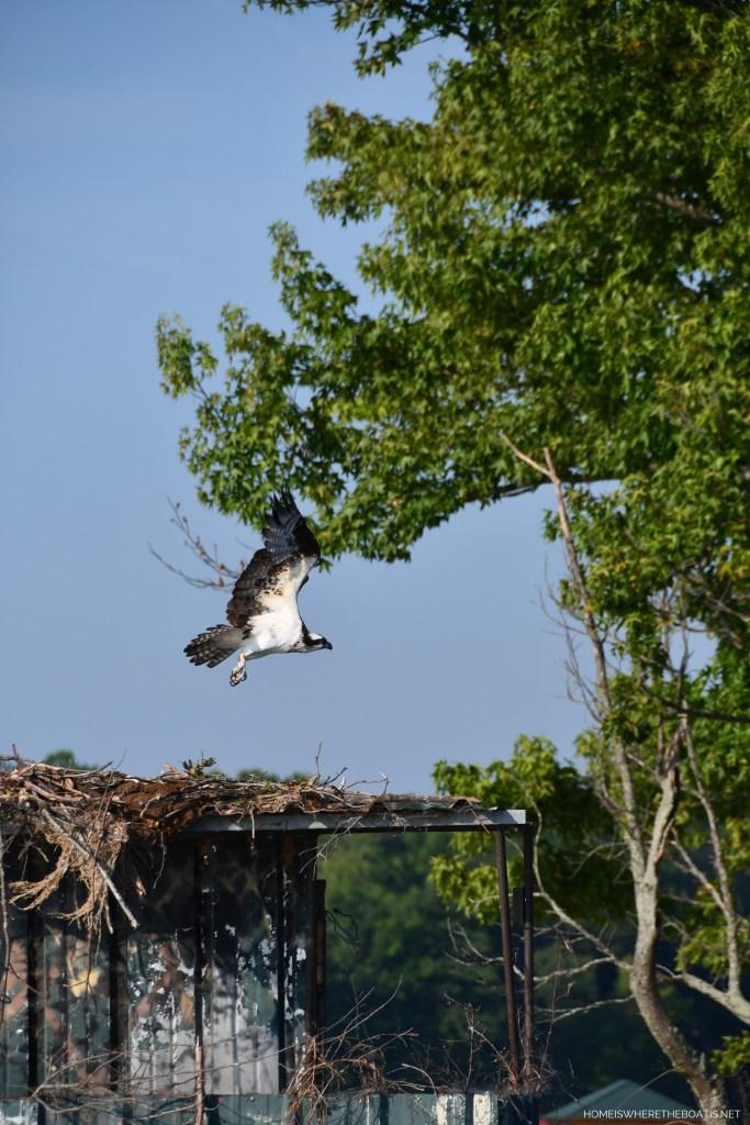 Osprey nest on duck blind   ©homeiswheretheboatis.net #boating #lake #osprey #LKN