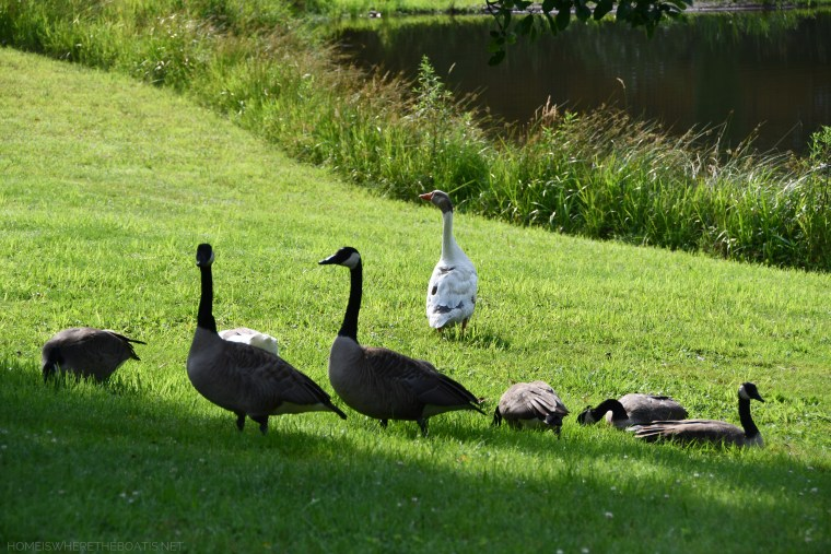 Geese by pond | ©homeiswheretheboatis.net