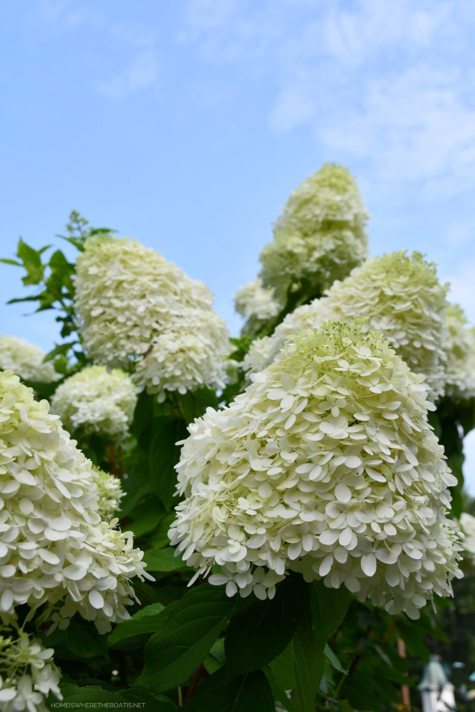 Limelight Hydrangeas | ©homeiswheretheboatis.net #flowers #summer #hydrangeas