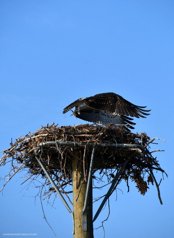 Weekend Waterview   ©homeiswheretheboatis.net #lake #osprey #nest