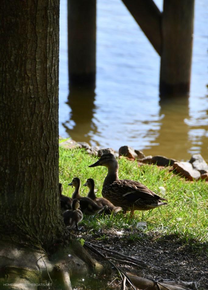 Weekend Waterview Mallard Duck with babies | ©homeiswheretheboatis.net #lake #LKN #ducks