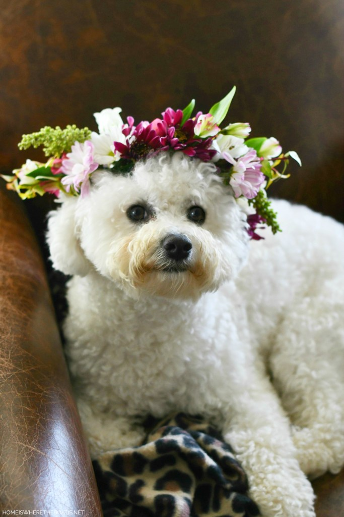 Create a flower crown for you or your pup to celebrate birthdays, weddings or for any special occasion. | ©homeiswheretheboatis.net #dogs #bichonfrise #nationaldogday