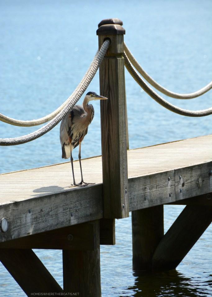 Weekend Waterview Great Blue Heron on dock | ©homeiswheretheboatis.net #lake #LKN #heron