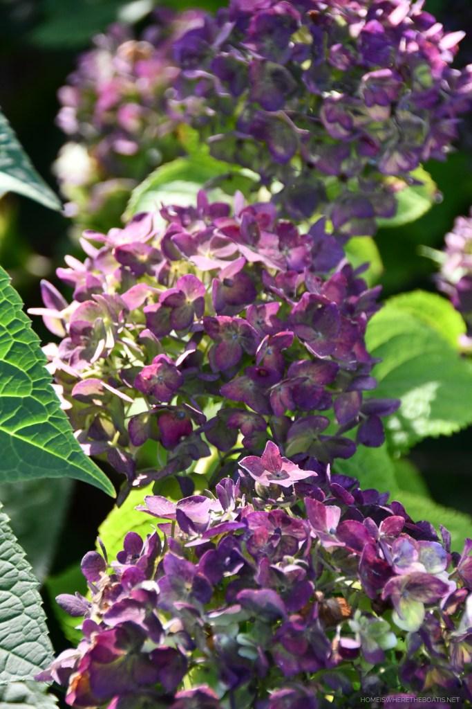 Fall color of Endless Summer Hydrangea | ©homeiswheretheboatis.net #fall #arrangement #hydrangeas #flowers #garden