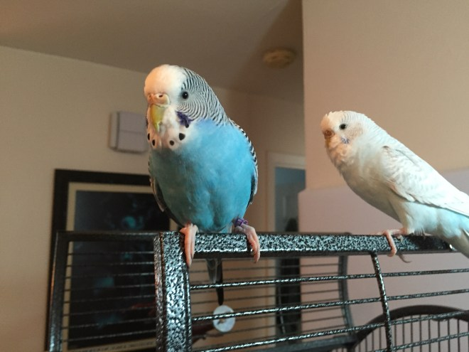 nonstick cookware and parakeets