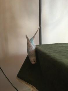 flock calling parakeet