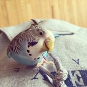 parakeet biting my face