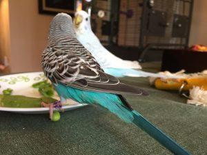 parakeet girl fight