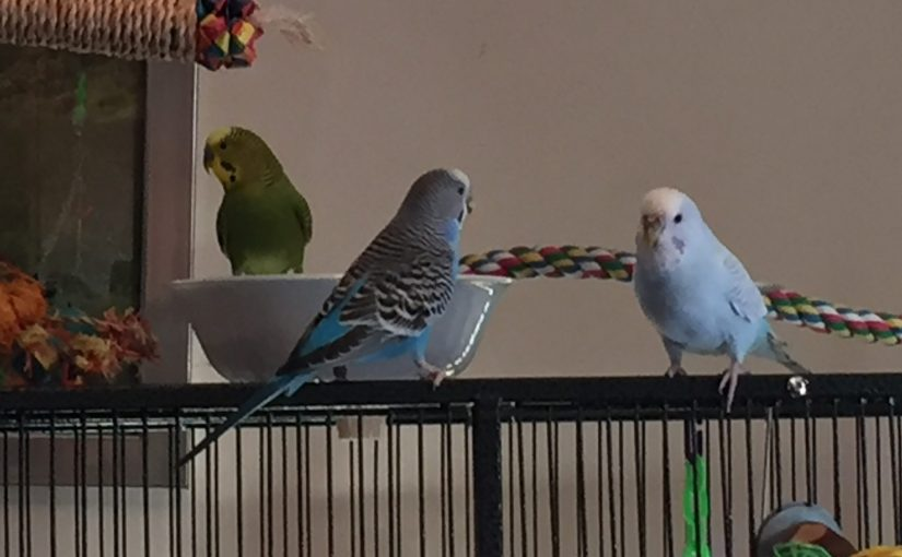 new parakeet fitting in
