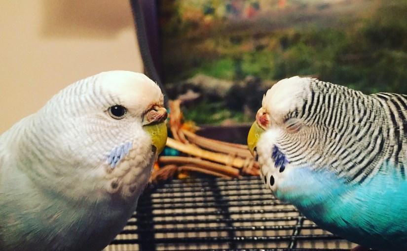 biting parakeet