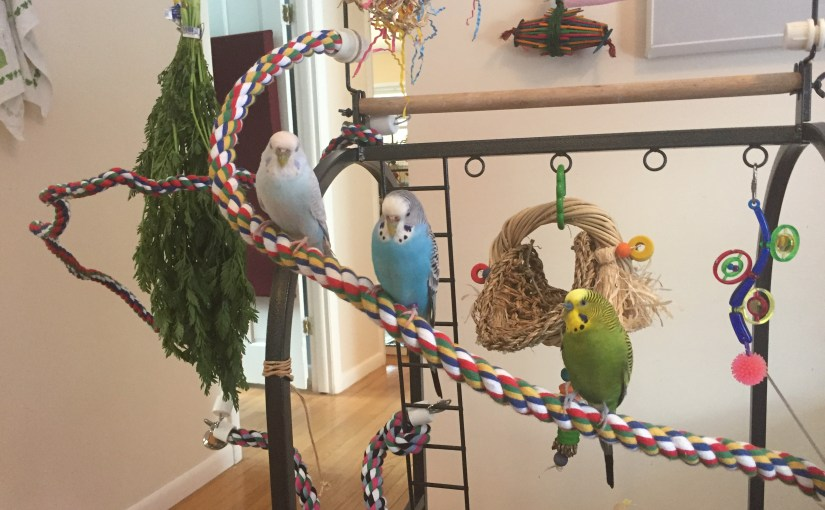 The difference between the terms budgie and parakeet