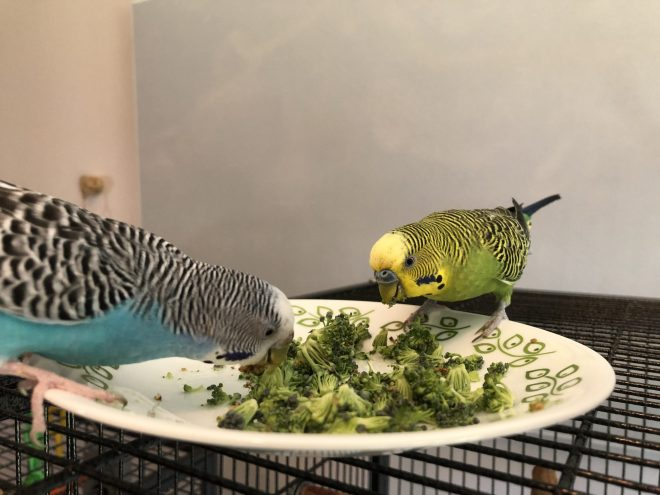 A blue and a green parakeet eating broccoli florets. Transitioning parakeets to new food